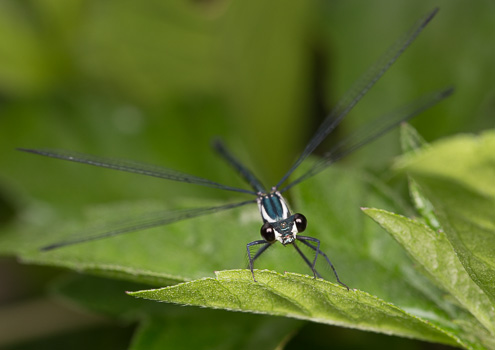 Black-Mouthed Common Flatwing Damselfly