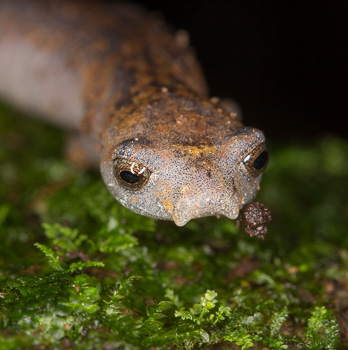 Ridge-Headed Salamander