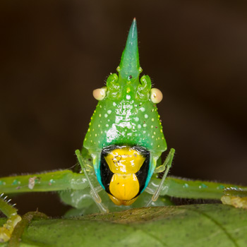 Blue-horned Unicorn Katydid