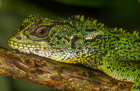 Blue Spotted Wood Lizard