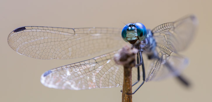 Tropical Dasher Dragonfly